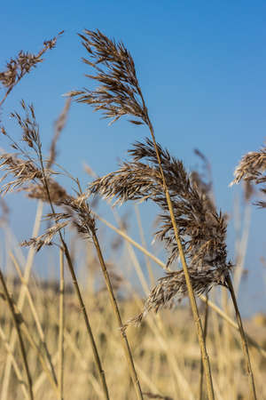 feathery: Feathery reeds, blowing in the wind