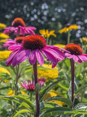coneflowers: Vibrant pink Echinacea flowers (also called Coneflowers) Stock Photo
