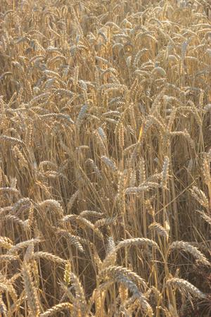 wheatfield: Wheatfield in Evening Sunlight Stock Photo