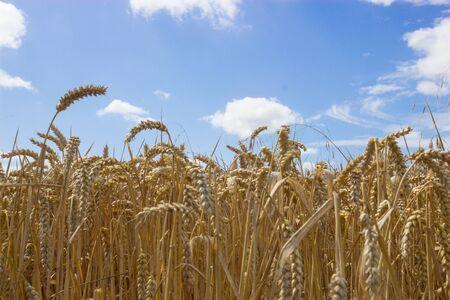 wheatfield: Wheatfield against a summer sky Stock Photo