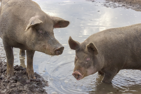 wallowing: Pigs in a Puddle