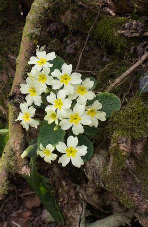 primroses: Primroses in a Wood