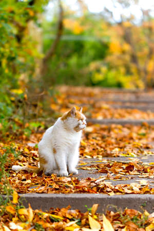 White cat in autumn sitting on a leaves photo