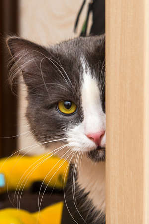 housecat: Housecat with yellow eye looking ahead