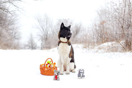 Akita dog breed sitting in the snow with toys photo