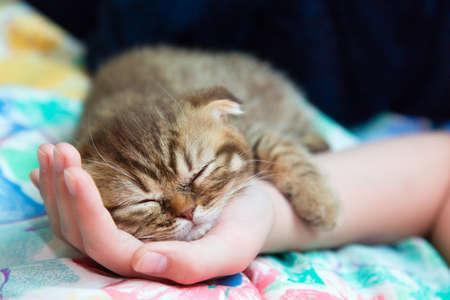 女性の手の上で Slcottish 子猫寝る