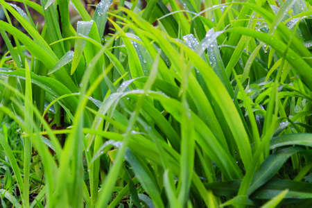 thick growth: Fresh dew on the green grass closeup
