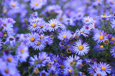 フィールドの深さ、小さな紫アスターの野生の花の背景します。 写真素材
