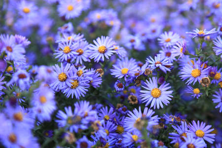 small purple asters wildflowers background, deep of field