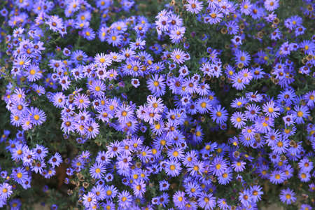 purple plants: small purple asters wildflowers background, top view Stock Photo