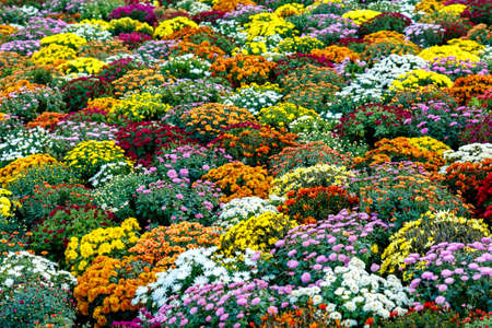 Colourful beautiful flowers in the flowerbed, for background