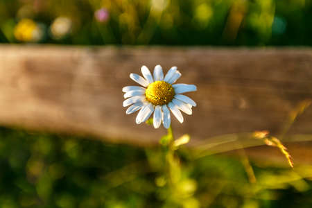 non urban 1: Wild daisy flower on a wooden fence on a sunny day. shallow depth of field