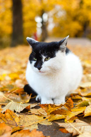 black and white cat sitting in autumn park with yellow leaves