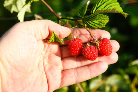 Human hand holding Juicy ripe raspberries in a garden at sunny summer day. Harvesting concept. Stock Photo