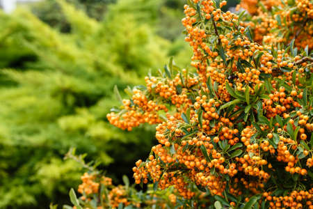 A lot of ripe berries of sea-buckthorn on the branches close up. Copy space, shallow depth of field.
