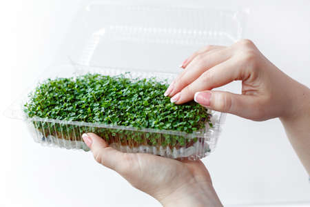 Woman holds and cares for sprouts of micro greens plants in a plastic box, hands close-up, isolated on white background.