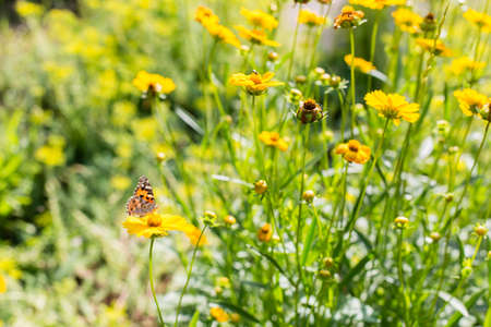 Batterfly on a yellow flowers at sunny summer day. 写真素材 - 126487096