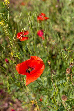 Red poppy flowers on a sunny summer day.