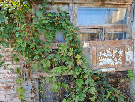 Window of old abandoned ruined house overgrown of green ivy. 写真素材