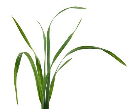 草の分離いくつか新鮮な緑の葉
