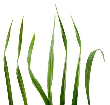 草のいくつかの孤立した緑の刃