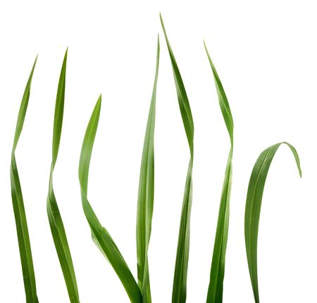 Some isolated green blades of the grass Stock Photo