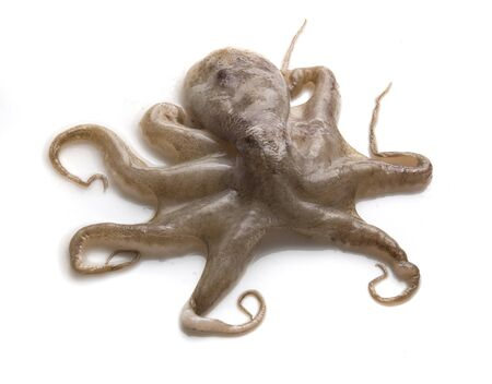 Raw octopus Stock Photo - 14081738