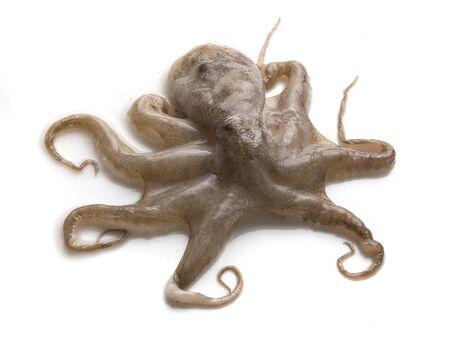 Raw octopus Stock Photo - 14081738