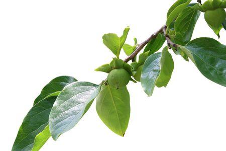 ebony tree: Branch of ebony with fruit and leaves Stock Photo