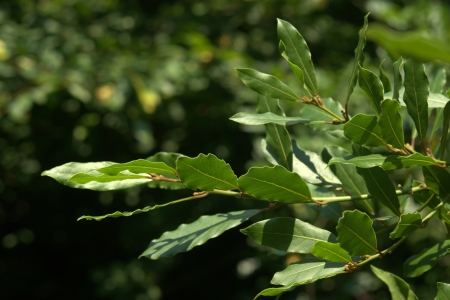 Green laurel branch in nature environment photo