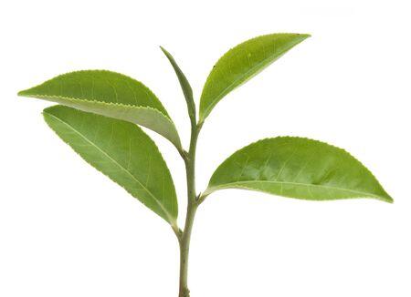 Isolated branch of fresh green tea Reklamní fotografie