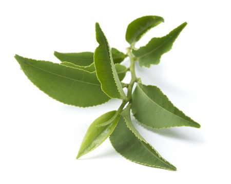 tea leaf: Isolated branch of fresh green tea Stock Photo