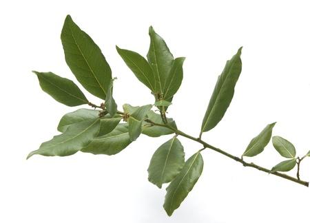 Geïsoleerde verse groene tak van laurier Stockfoto