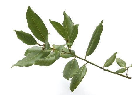 Isolated fresh green branch of laurel Stock Photo