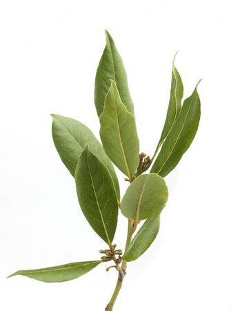 Geïsoleerde verse groene tak van laurier