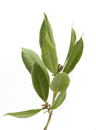 Isolated fresh green branch of laurel