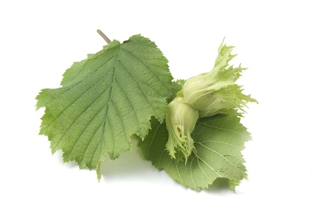 hazel branches: Isolated branch of hazelnut with nuts and leaves