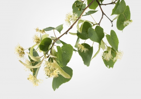 Branch of linden with leaves and flowers Stock Photo