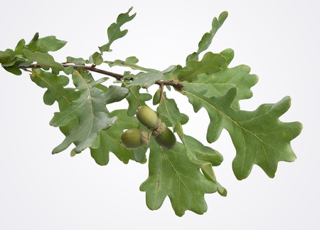 Isolated oak branch with three acorns on the gray back Stock Photo