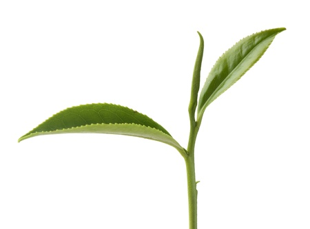 teepflanze: Top zwei Bl�ttern von gr�nem Tee auf dem wei�en Lizenzfreie Bilder
