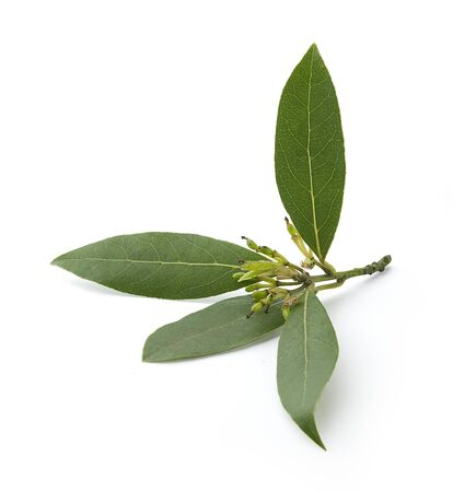 Little branch of bay leaf on the white background Stock Photo