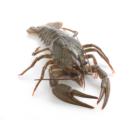 Alive isolated crawfish on the white background