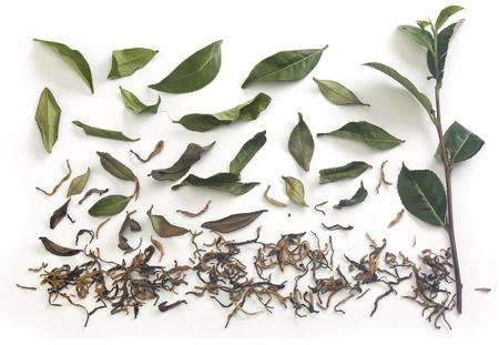 Aislado fresca rama de té verde con hojas de té y té seco en el fondo blanco