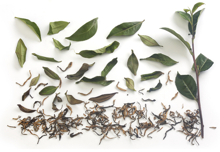Isolated fresh green tea branch with tea leaves and dried tea on the white background