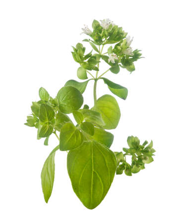 origanum: Isolated branch of common origanum with flowers and leaves