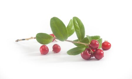 cowberry: Isolated branch of red cowberry on the white Stock Photo