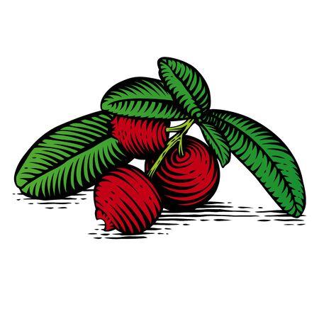 gravure: Disegno della filiale del cowberry rosso con bacche e foglie