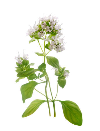 origanum: Isolated blooming branch of a oregano with flowers on the white background