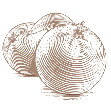 gravure: Drawing of two oranges with green leaf on the white background Vettoriali