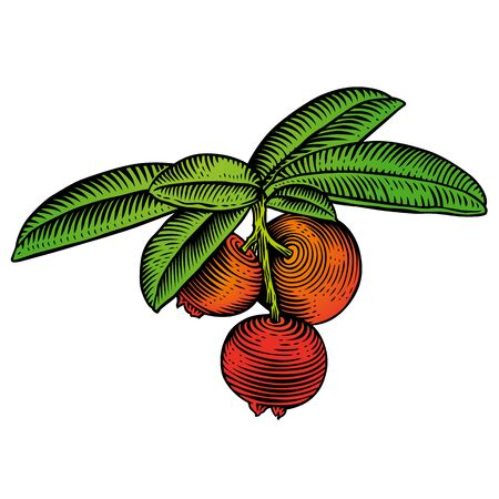 gravure: Drawing of the red cowberrys branch with berry and leaves